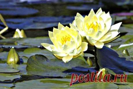 Las flores del loto