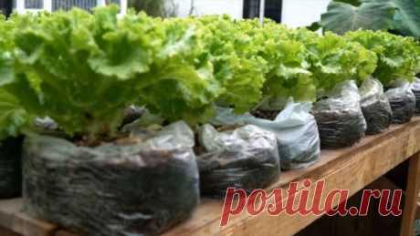 Много свежего салата: простейший способ в пакетах | Краше Всех