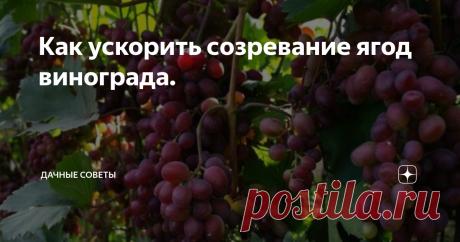 Как ускорить созревание ягод винограда. Мечта любого виноградаря – получение урожая раньше положенного  срока. Конечно можно подождать пока он самостоятельно созреет и покупать  грозди. Но ведь домашний виноград вкуснее, ароматней, слаще и гораздо  вкуснее. Получить урожай немного раньше возможно, но придется применить  несколько хитростей. Чтобы будущий саженец давал урожай немного раньше, посадить его стоит на южной стороне, под высок