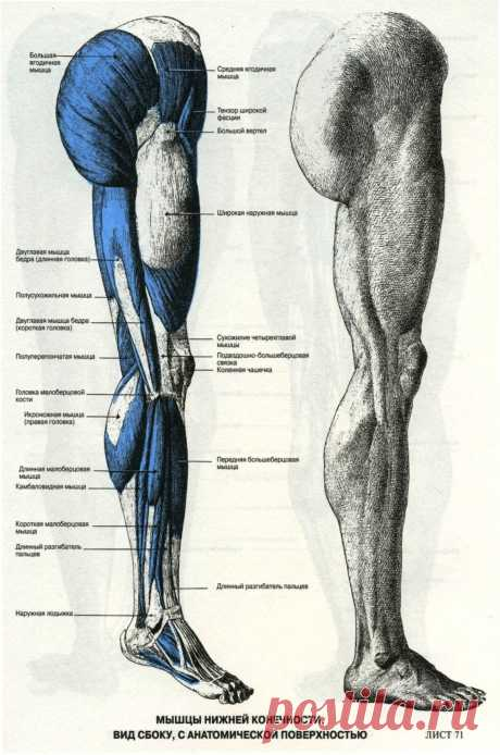 Мышцы ноги. Вид сбоку