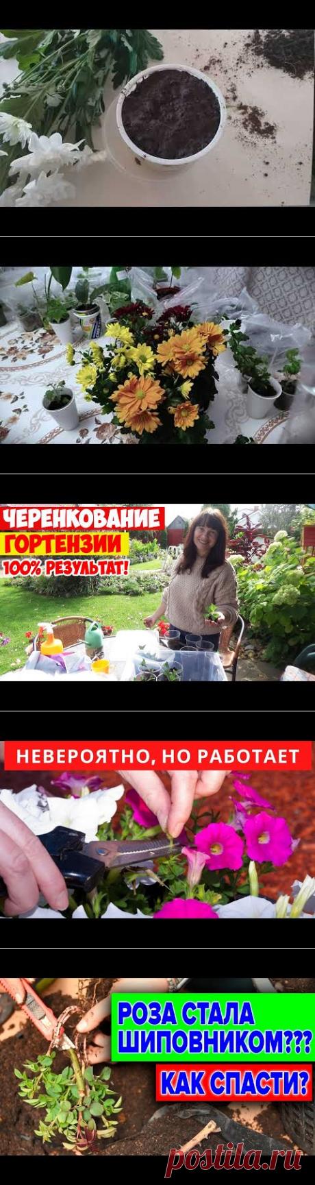 Как укоренить хризантему из букета Самый легкий способ - YouTube