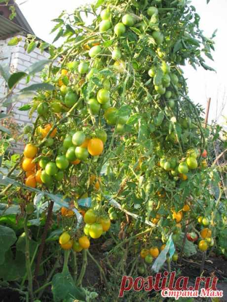 Помидоры - ленивый способ выращивания.