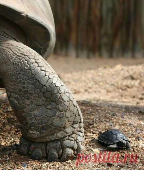 Слоновая черепаха и ее детеныш