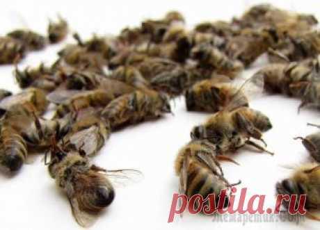 Применение пчелиного подмора...  Все знают о пользе применения продуктов пчеловодства в излечении многих заболеваний. Однако о применении пчелиного подмора, знают далеко не все. Апитерапия известна человечеству с давних времен. Знах…