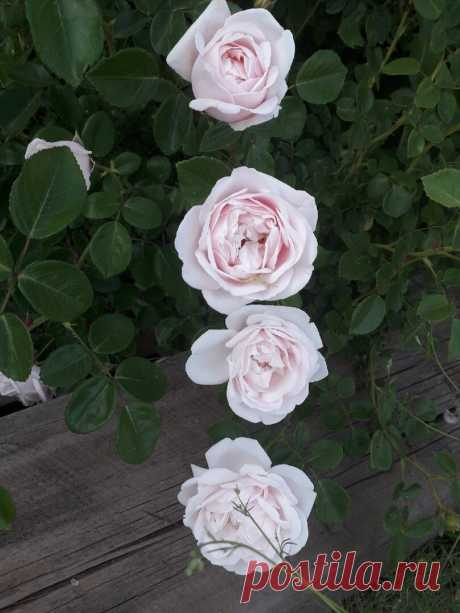 Черенкуем розы летом. Просто и без заморочек