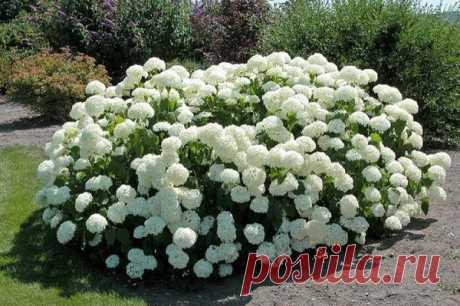 Как добиться пышного и продолжительного цветения гортензии   Росток   Яндекс Дзен