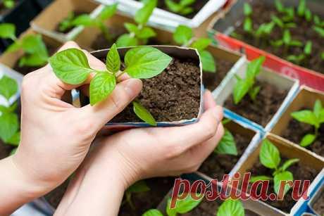 Как вырастить хорошую рассаду перца 🚩 Сад и огородд