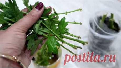 Как укоренить хризантему из букета. 2 простых и эффективных способа.