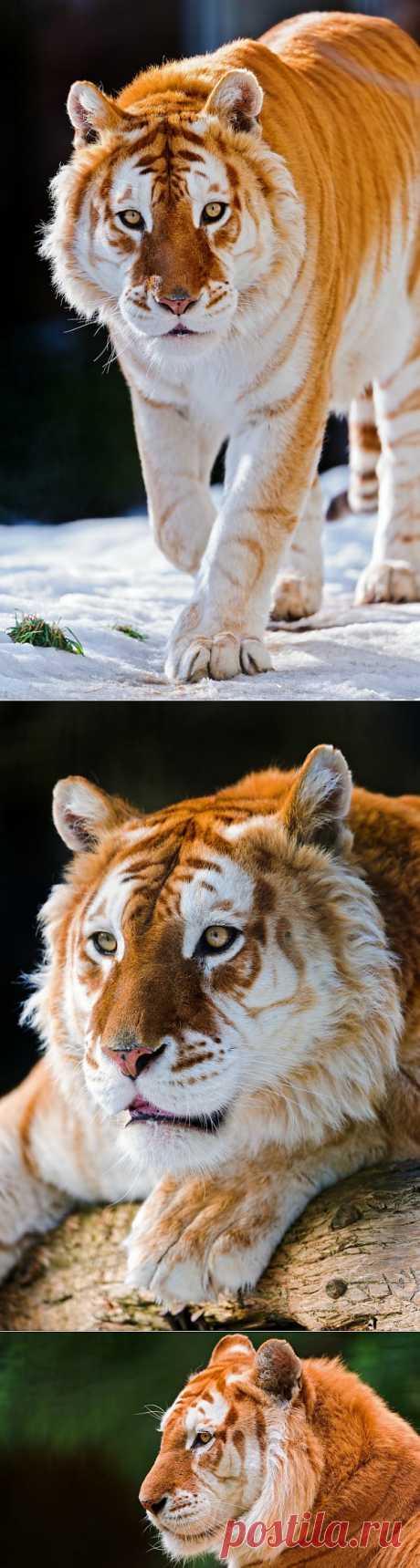 Лучшие фотографии со всего света - Золотой тигр