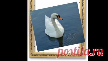 Лебедь белая на пруду.
