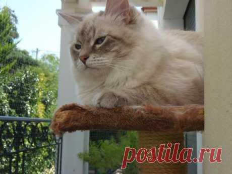 Невский маскарадный котик DUSTIN FORMULA USPEKHA, живет в Германии в питомнике Snowy Paws Catterys
