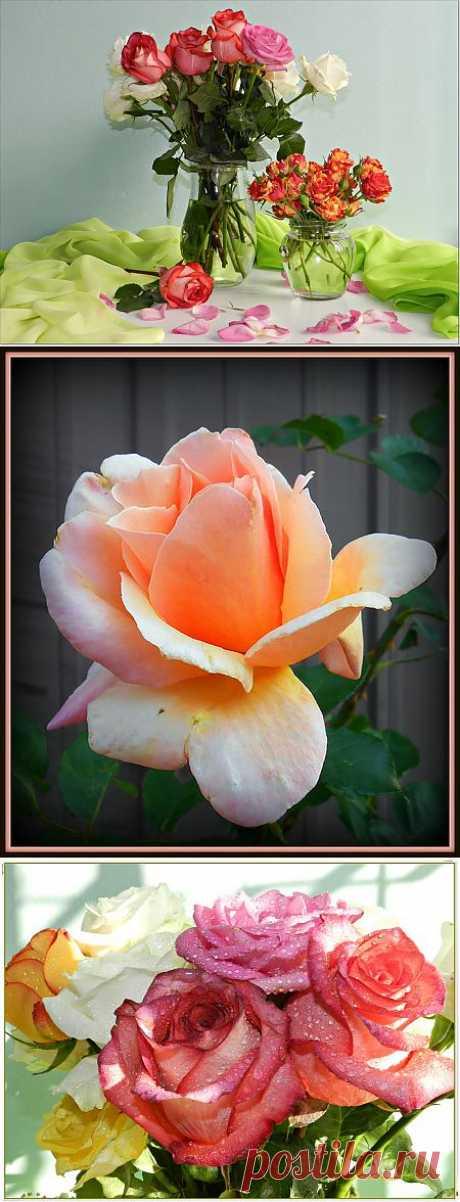 Сентябрьские розы!.