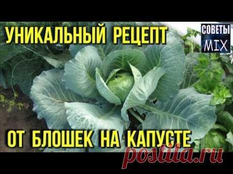 Как бороться с блошкой на капусте. Уникальный рецепт от вредителей на огороде для дачников - YouTube