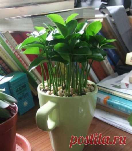Вот как вырастить лимон в чашке - чтобы дома всегда приятно пахло