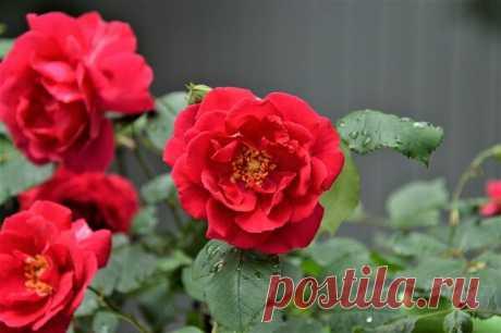 Роза. Основные группы роз, используемые в озеленении сада   Дача, сад, огород, рыбалка, рецепты, красота, здоровье