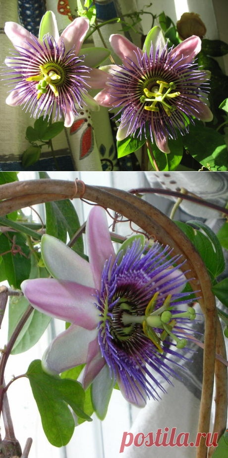 Passionflower, passionflower or passion fruit: we understand and grow up