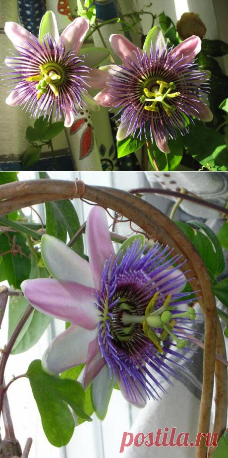 Пассифлора, страстоцвет или маракуйя: разбираемся и выращиваем