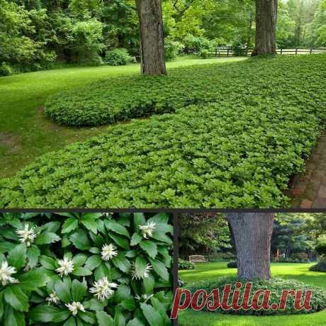 Вечнозеленое растение для сада | ЗЕЛЕНЫЙ МИР С ЕЛЕНОЙ | Яндекс Дзен
