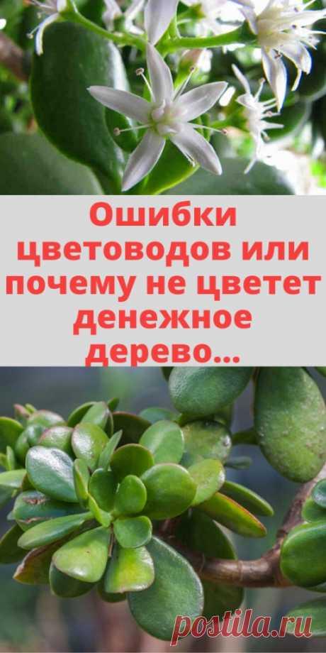 Ошибки цветоводов или почему не цветет денежное дерево... - My izumrud