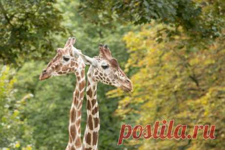 Зачем жирафу длинная шея? | Животные