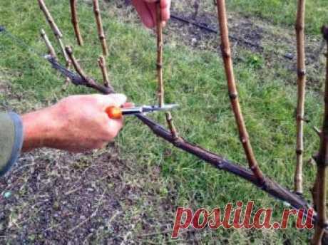 Как ухаживать за виноградом весной: основные тонкости 👍 Выращивание винограда довольно трудоемкий процесс. И не все садоводы знают, что делать с взрослыми кустами этой культуры в весенний период.
