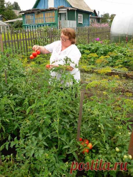 ПОМИДОРЫ тепличные (экспериментирую высадила в грунт)удивительно ,но факт -остались без помидор!