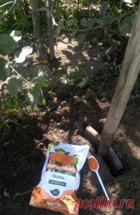 Как правильно удобрять яблони в конце лета. Плодовые деревья, достигшие возраста плодоношения, ежегодно забирают большое количество питательных веществ из почвы, чтобы их урожайность не падала,