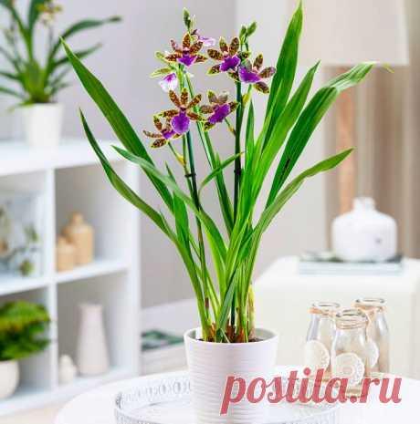 Орхидея зигопеталум: уход в домашних условиях, виды, пересадка при покупке