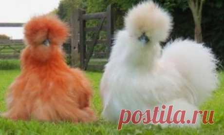 Ну ты и курица, самые необычные породы кур » Notagram.ru Самые красивые и необычные породы кур. Декоративные породы кур. Какие редкие породы кур считают самыми красивыми. Фото красивых кур.