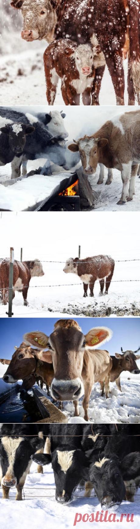 Смотреть изображения коров | Зооляндия