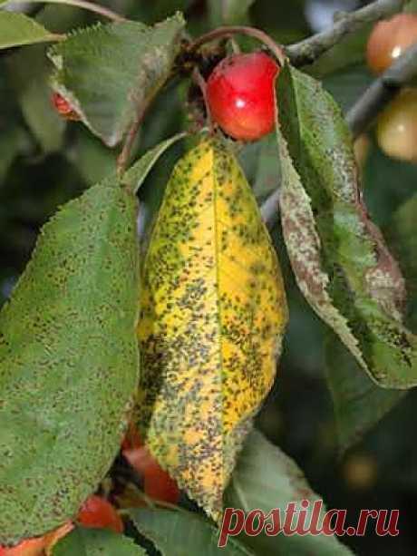 (+1) тема - Если на листьях и плодах вишни образуются пятна коричневого цвета | 6 соток