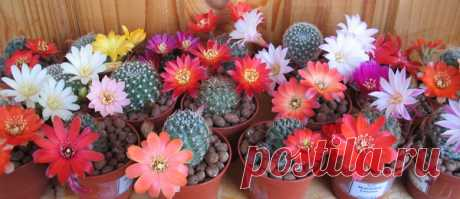 Почему не цветут кактусы? — Чудеса