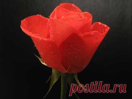 Роза в декабре