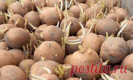 Как хранить картофель в погребе, чтобы он не прорастал весной? Способ действительно очень простой, не требующий к тому же абсолютно никаких финансовых затрат. Что, согласитесь, для многих дачников очень важно.