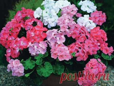 Выращивание цветов герани