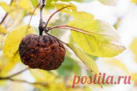 Яблоки гниют прямо на дереве – в чем причина и что нужно делать