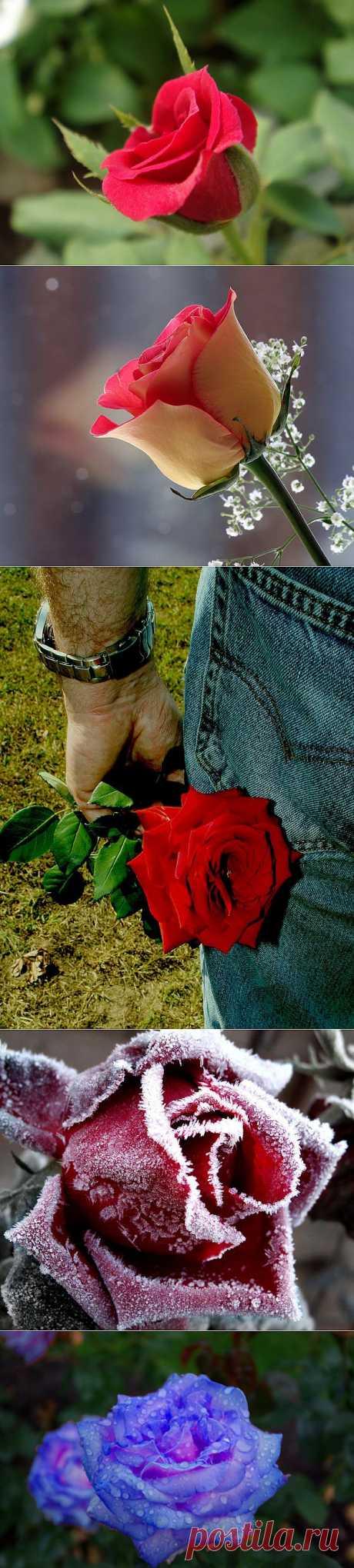 Красивые фотографии роз (30 фото) | Прикольные картинки, интересные фотографии, фото девушек, смешные и интересные видео, фото приколы