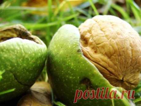 Выращивание грецкого ореха в Сибири