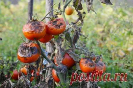Чем обработать открытый грунт после томатов