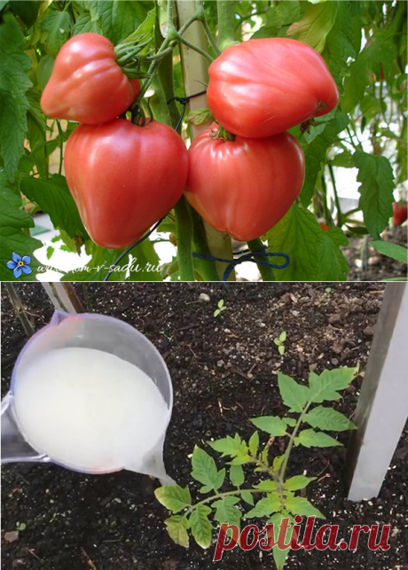 Barmy top dressing for tomato. 7 recipes of top dressing tomato yeast. | Beautiful House and Garden