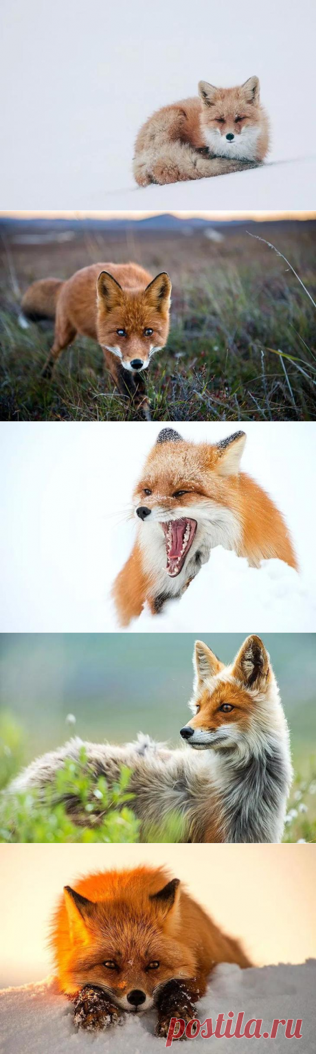 Unsurpassed portraits of wild foxes from the mining engineer from Chukotka