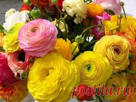 РАНУНКУЛЮС.ПОСАДКА.УХОД. Едва только взглянув на эти очаровательные цветы, буквально с первых минут начинаешь ощущать непередаваемую нежность и искреннюю легкость. Ранункулюс или азиатский (садовый) лютик (Ranunculus asiaticu…