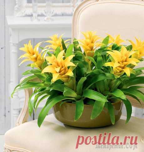 El símbolo de la longevidad de hombre — la flor guzmaniya