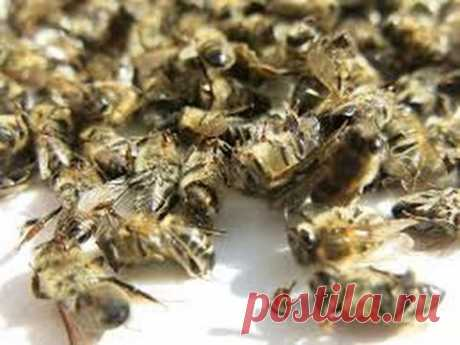 Пчелиный подмор от простатита