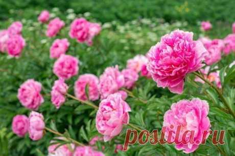 Как улучшить и продлить цветение пионов | Пионы (Огород.ru)