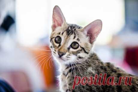 Усы, лапы и хвост: сможете ли вы угадать породу кошки по фотографии — ТЕСТ - IrkutskMedia Коты и кошки – одни из самых распространенных домашних животных. Всего в мире насчитывается более 40 официально признанных пород этих четвероногих питомцев. Каждая из кошек обладает своим неповторимым характером и внешностью. ИА IrkutskMedia предлагает читателям проверить свои знания о кошачьих и ответить на все 10 вопросов теста наших коллег из ИА SakhalinMedia.