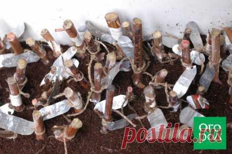 Размножение винограда одревесневшими черенками – инструкция для новичков | Виноград (Огород.ru)