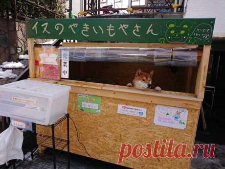 Пёс сиба-ину стал продавцом картофеля, и никто не может перед ним устоять