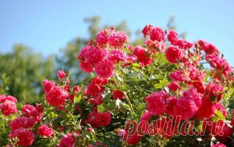 Чем подкормить розы весной после зимы, удобрения для обильного цветения