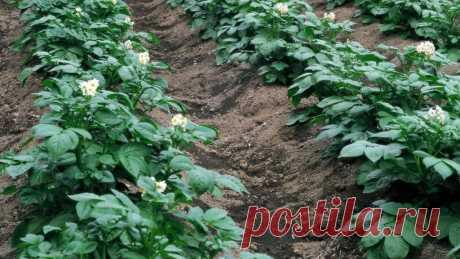 Как удобрить землю под картофель